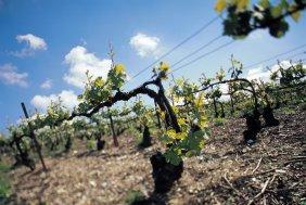 Krug vine training