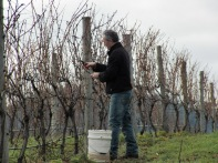 Pinot Blanc cuttings