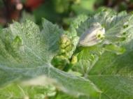vine floral buds (640x480)